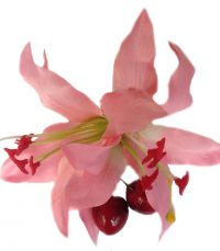 Paloma Double Lily with Cherries Hair Flower